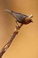 Brown-headed Cowbird (Molothrus ater), male