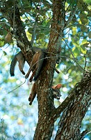 Gray Foxes (Urocyon cinereoargenteus) resting in a tree. Chan Chich, Belize.
