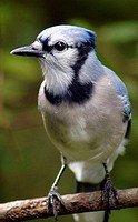 A closeup of a blue jay (cyanocitta cristata), Pennsylvania, USA