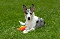 Mixed, Breed, Dog, puppy, with, toy