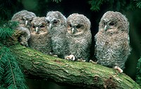 Young, Tawny, Owls, Strix, aluco