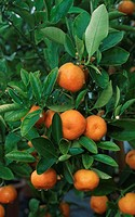Sour, Orange, ´Chinotto´, Citrus, aurantium, myrtifolia