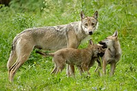 Wolves, female, with, cubs, Canis, lupus