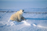 Ursus maritimus. Polar bear. Churchill. Canada