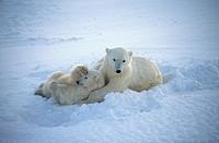 Ursus maritimus. Polar bears. Churchill. Canada.