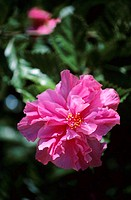 Closeup of pink double hibiscus growing on leafy plant