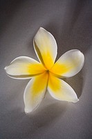 Studio shot of yellow plumeria on gray background (thumbnail)