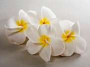 Studio shot of white plumerias on white background