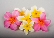 Studio shot of pink and yellow plumerias on white background