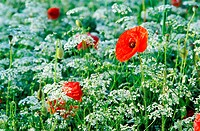 France, Auvergne, a few poppies in the middle of umbellifers