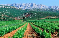 France, Bouches-du-Rhône (13), vineyards of Sainte-Victoire mountain, near Aix-en-Provence