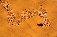 Niger, Sahara, Tenere desert, scarab