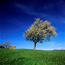 France, Puy-de-Dôme (63), pear tree, spring