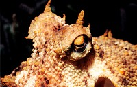 France, Corse-du-Sud (2A), close-up on the eyes of a common octopus