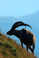 Rock Goat (Capra ibex). Male. Berner Oberland region of Switzerland