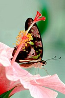 Green Triangle Kite Butterfly, (Graphium agamemnon) on pink Hybiscus (Hibiscus spp.)