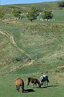 italy, lazio, sabina, horses