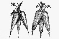 Carrots. Antique drawing, ca. 1900.