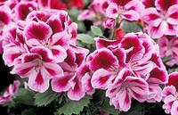 crane´s bill flowers