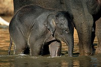 Baby Elephant with Young Calf