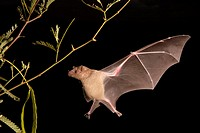 Lesser Long-nosed Bat (Leptonycteris curasoae) flying by mesquite branch (Prosopis pubescens). Endangered species