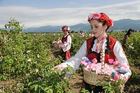 Gathering of roses. Festival of the Roses. Kazanlak. Bulgaria.