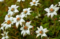 Alpine (high altitude) flowers edelweiss at 17,000 ft. Uttaranchal. India.