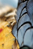 Close-up of golden pheasant feathers