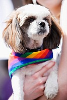 Close-up of a person's hand holding a puppy wearing a gay pride flag
