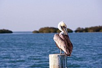 Close-up of a Brown Pelican perching on a wooden post