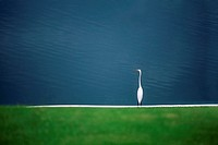 A white egret is seen near a pond on the island of Jamaica