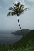 View of a palm tree on a lush coastland, Trinidad, Caribbean