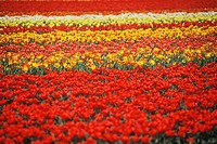 Flowers in a field, Amsterdam, Netherlands