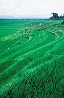 Panoramic view of a terraced field, Bali, Indonesia