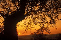 Silhouette of a tree, Italy