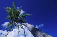 Low angle view of a coconut palm tree