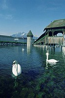 Two swans in a river, Lucerne, Switzerland