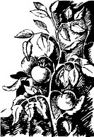 Tomatoes on the vine, black and white