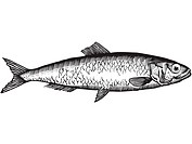A black and white drawing of a herring