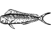 A black and white drawing of a mahi mahi (thumbnail)