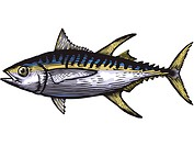 A drawing of a yellow fin tuna (thumbnail)