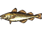 A drawing of a cod (thumbnail)