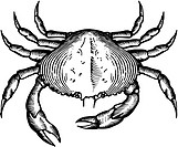 A black and white drawing of a dungeoness crab