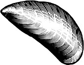 A black and white drawing of a blue mussel