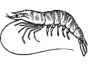 A black and white drawing of a tiger prawn