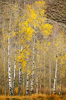 Fall aspens