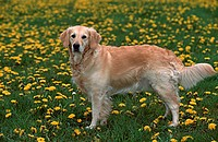 Golden, Retriever,, side