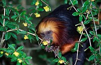 Golden-headed, Tamarin,, Leonthopithecus, rosalia, chrysomelas,