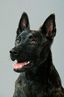 Dutch, Shepherd,, Hollandse, Herder