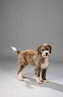 Mixed, Breed, Dog,, puppy,, 12, weeks